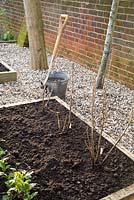 Step by step for planting bare root currant bushes - finished row of plants in raised bed