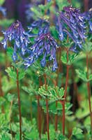 Corydalis flexuosa 'Blue Summit'