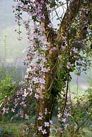 Clematis montana 'Crinkle' cascading from a tree