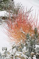 Cornus sanguinea 'Midwinter Fire' in snow