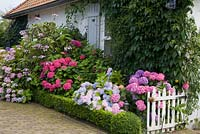 The front garden with Hydrangea and clipped box hedges