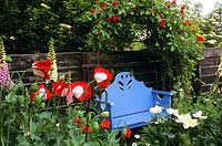 Painted bench beneath Rosa 'Danse du Feu' and Papaver somniferum 'Danish Flag' in foreground