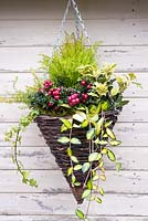 Winter hanging basket with Pernettya, golden Ilex, Vinca 'Limelight' and conifer