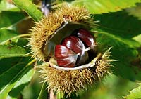 Castanea sativa - Sweet chestnut showing seeds in open pod.