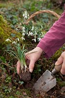 Planting Galanthus 'In The Green'