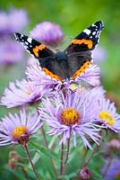 Red Admiral Butterfly on Aster novae-angliae 'Mrs S. T. Wright'