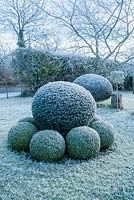 Yew topiary surrounded by clipped box balls on a frosty morning in December - The Mill House, Little Sampford, Essex