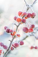 Malus 'Evereste' - Frosted crab apples in December - The Mill House, Little Sampford, Essex