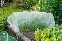 Brassica plants in raised vegetable bed protected from pests with fine plastic netting