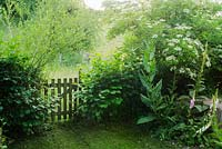 Rustic gate in hedge leading from garden to meadow. Corylus avellana, Salix and Sambucus nigra in hedge. Foxgloves, Verbascum and Dipsacus fullonum