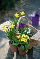 Pots of early spring flowers on wooden seat.