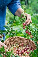 Harvesting Ribes 'Hinnonmaki Red' in a basket