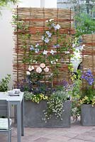 Planter with willow screen attached on patio. Plants include Rosa, Clematis, Lavandula, Nemesia and Thymus