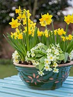Step by Step container for Primula vulgaris and Narcissus 'Tete-a-tete'
