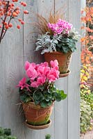 Terracotta pots of Cyclamen and Carex testacea mounted on fence
