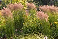 Group of Calamagrostis x acutiflora 'Karl Foerster' - Small Reed blowing in the wind - Wildside garden