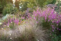 Naturalistic planting of Dierama 'Wildside hybrid' - Angel's Fishing Rod, Wand Flower, Nassella trichotoma with Oenothera stricta 'Sulphurea' - Wildside garden