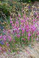 Dierama 'Wilside hybrid' - Angel's Fishing Rod, Wand Flower