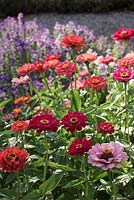 Zinnia with Salvia viridis in background