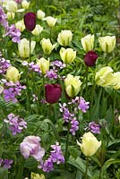 Tulipa 'Queen of the Night', Tulipa 'Spring Green', Tulipa 'Shirley' and Lunaria annua