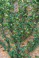 Espalier Malus - Apple 'Golden Reinette' trained against old brick wall