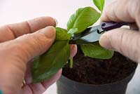 Propagating and dividing Ocimum basilicum - Basil from shop bought plant - take cuttings to eat