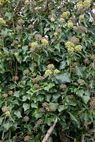 Hedera - English Ivy showing the adult foliage, non lobed leaves