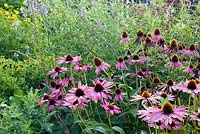 Echinacea purpurea 'Magnus' in a late summer border with Salvia uliginosa and Helianthus 'Lemon Queen'