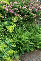 Spiraea japonica 'Anthony Waterer', Alchemilla mollis and ferns at edge of brick paving - De Tuinen van Appeltern, Holland
