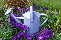Lilac watering can in bed of Crocus