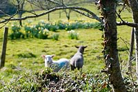Lambs in the orchard