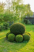 Yew topiary surrounded by clipped box balls - The Mill House, Little Sampford, Essex