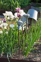 In a kitchen garden, tin bucket and shower heads on metal poles in vegetable patch with onions and Tulips