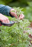 Propagation of wormwood Artemisia absinthium. Taking cuttings from mature plant in summer.
