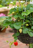 Fragaria, Strawberry hanging basket in Dorset Cereals Edible Playground. Gold Medalist and Best in Show. Design -  Nick Williams-Ellis. RHS Hampton Court Flower Show 2008