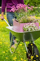 Step by Step -  Transporting a container of Argyranthemum 'Percussion Rose', Bacopas 'Abunda Pink', Scopia 'Double Ballerina Pink' and Ajuga 'Burgundy Glow' through a path of buttercups