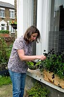Naomi Schillinger, author of Street Veg, picking Black Violets - Viola - from a wooden window box as decoration for a salad. Front garden in Finsbury Park, London Borough of Islington, UK