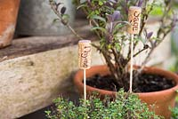 Recycled corks as plant labels in containers of herbs - sage and thyme