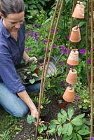 Step by step - creating a decorative wigwam with terracotta pots and planting with Ipomea and Cobaea scandens