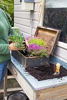 Step by step - Planting old wooden box container with Thymus green/yellow and Thymus serpyllum coccineus