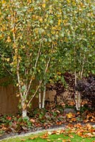 Small garden with Fagus sylvatica 'Dawyck Gold', Betula utilis jacquemontii 'Doorenbos', Bergenia 'Overture' and Bergenia 'Bressingham Ruby'