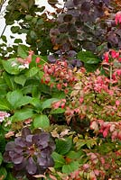Autumn border planted with Hydrangea macrophylla, Cotinus coggyria 'Royal Purple' and Eunonymus alatus