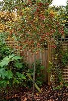 Malus 'Evereste', Hydrangea  quercifolia and Clematis in small garden