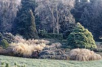 Frosty Winter garden with conifers, ornamental grasses and silver birch tree.