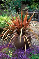 Phormium 'pink panther' flax lily. in container. close up of striped pink and green plant and purple flowers in foreground.