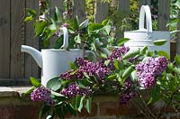 Syringa vulgaris �Sensation' with white watering cans