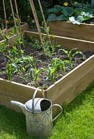 Vegetable beds with sweetcorn
