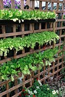Lettuce grown in rainwater pipes hung on trellis