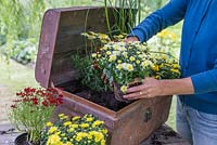 Step by Step - Creating a Treasure Chest container of Coreopsis 'Limerock Ruby', Coreopsis 'Pumpkin Pie', Argyranthemum 'Crested Yellow', Kniphofia 'Lemon Popsicle', Chrysanthemum and Ornamental Pepper