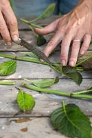 Step by Step - Taking root cuttings from Hydrangea 'Dark Angel'